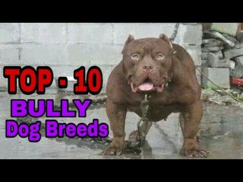 TOP-10  Most Popular Bully Dog Breeds/Most Popular Dogs/ Aryan Dog Club  Aryandogclub