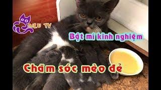 Cách chăm sóc mèo đẻ|Đàn mèo anh lông ngắn đáng yêu