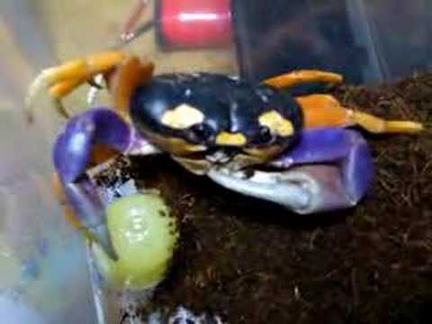 Halloween crab eats jelly. - YouTube