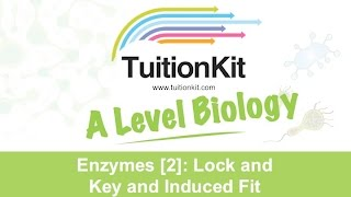 Enzymes [2]: Lock and Key and Induced Fit (A Level Biology)