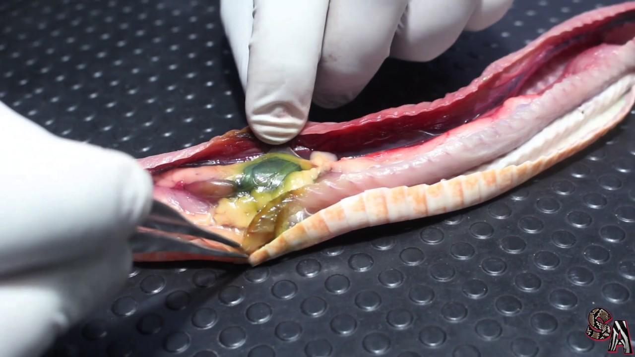 Anatomía de una serpiente - Serpiente diseccionada (Vídeo gráfico ...