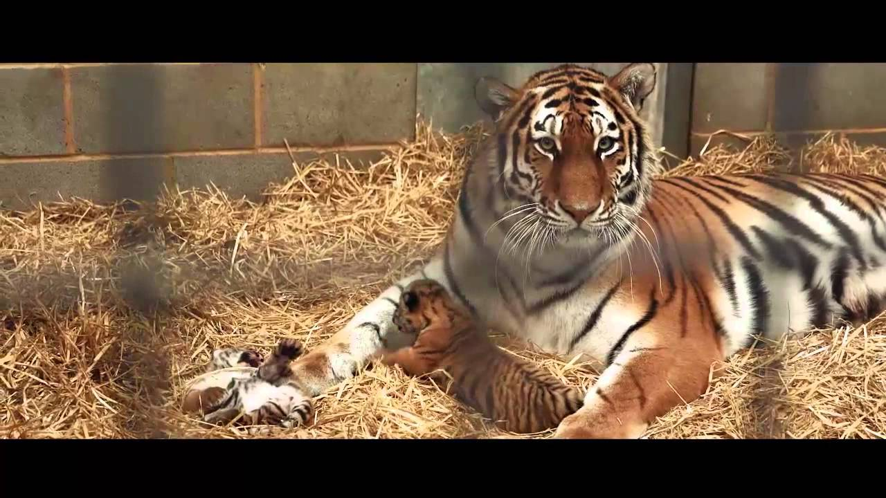 Amur Tiger Cubs Woburn Safari Park Part 1