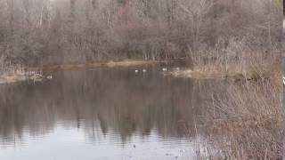 Spring Peepers - Brown Street Pond, Town of Collins, Erie County 4-3-17