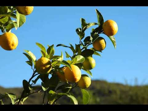 lemon-tree-|-collection-of-lemon-tree-pictures