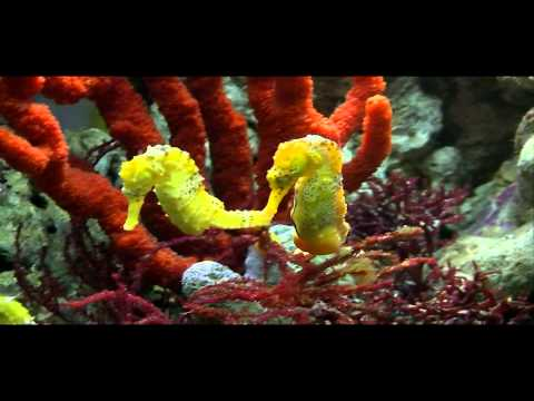 Sea Horses Courtship -  Music Of Paul Collier  - Slow down