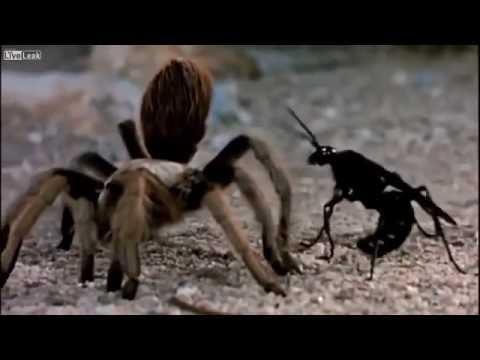 Tarantula Hawk VS Giant Barbarian Spider - FINISH HIM