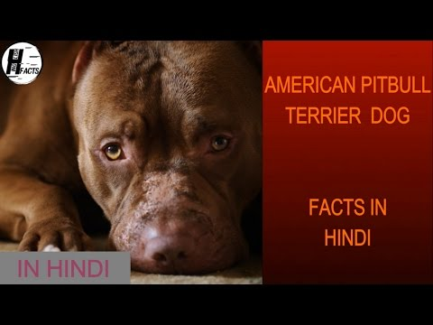 American PitBull Terrier Dog Facts | Hindi | Dog Facts | HINGLISH FACTS