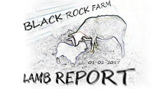 Black Rock Farm Lamb Report #2