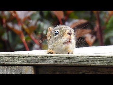 Écureuil fâché qui cri