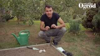 Jak uprawiać czosnek