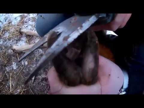 Klauen schneiden bei den Wollschafen