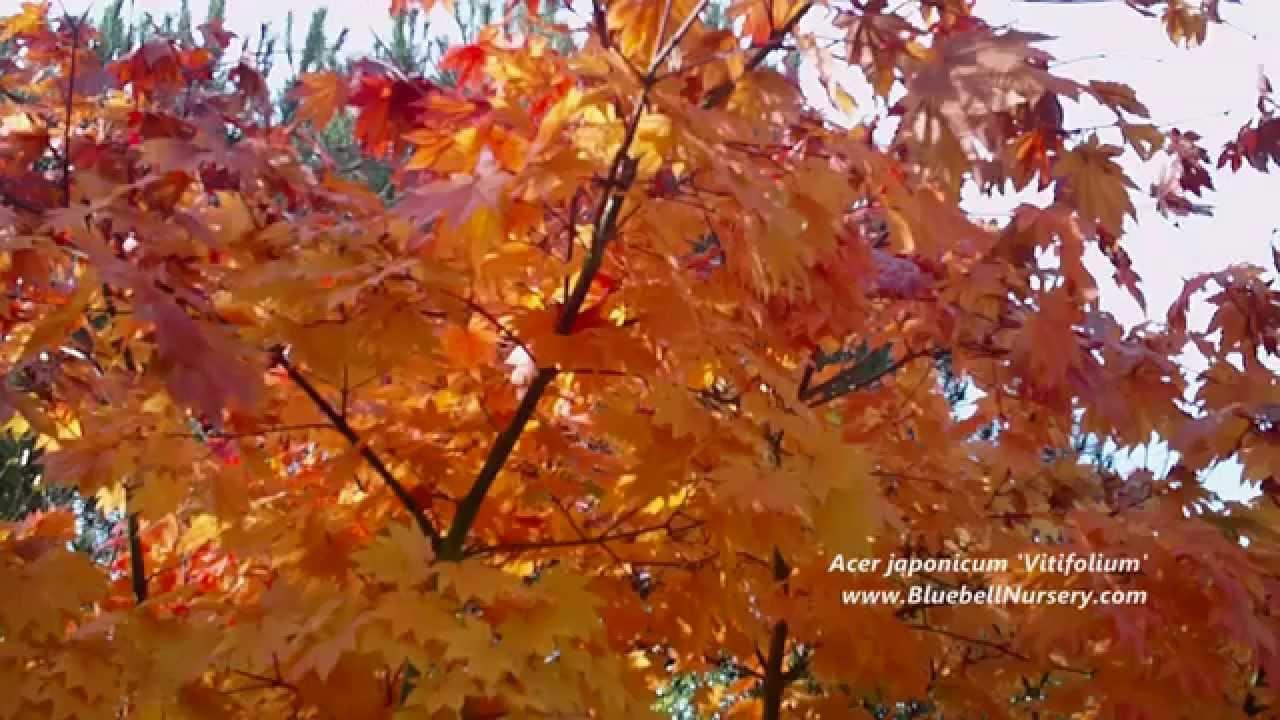 Acer Japonicum Vitifolium Vine Leaved Maple