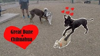 HUGE Great Dane Puppy Falls In Love W/ tiny Fruity Chihuahua
