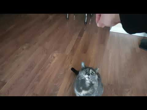Cat performs dog tricks