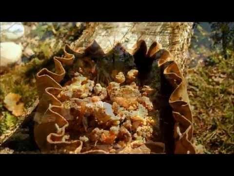 La résine de pin ......l'or des bois