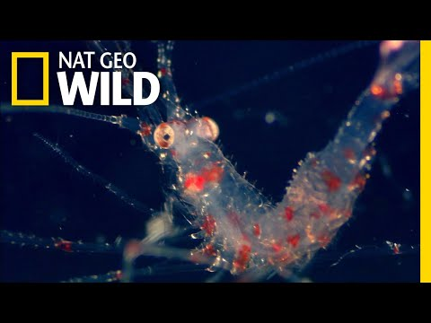 Watch the World's Largest Animal Migration Light Up the Ocean | Nat Geo Wild