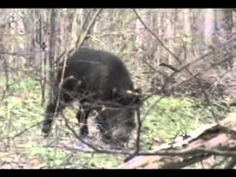Кабаны в лесу порно