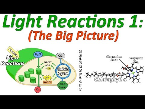 Photosynthesis, the Light Reactions, Part 1: the Big Picture