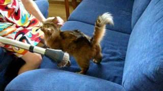 Кошка сомали и пылесос - прикольное видео. Somali cat and cleaner