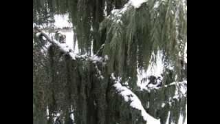 Выращивание хвойных деревьев. Ёлки2.