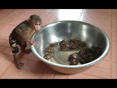 Baby Monkey   Doo Plays And Eats Crabs   Cat Miu Loves Crabs