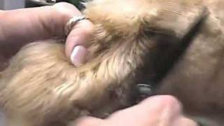 Super Styling Session Welsh Terrier Grooming Tips