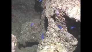 © Рыбы Черного моря. Мальки морской ласточки хромис (Chromis chromis) - 2