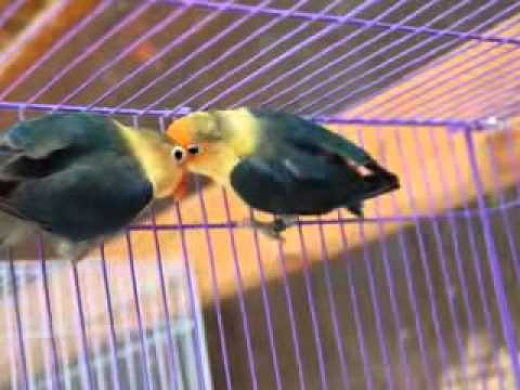 Burung Lovebird Jenis Parblue Youtube