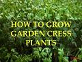 HOW TO GROW GARDEN CRESS PLANTS