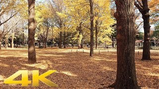 Walking around Yoyogi Park (Autumn leaves), Tokyo - Long Take【東京・代々木公園/紅葉】 4K