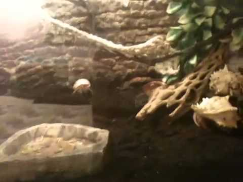 hermit crab feeding and mite tip