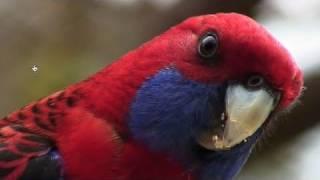 Exotic Birds - Australia's Crimson Rosella Parrot