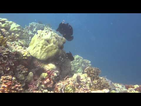Octopus attacks Giant Frogfish