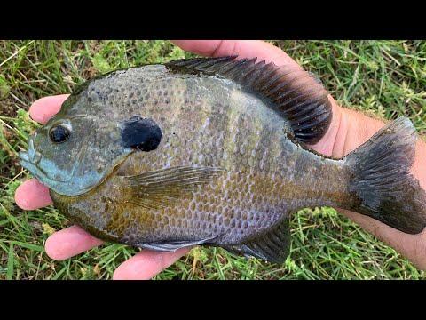 Live Bluegill Vs. Cut Bluegill For Spring Catfish Bait