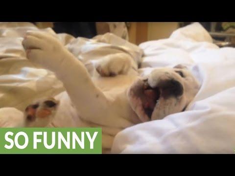 Grumpy Bulldog Puppy Makes Funny Noises When Woken Up