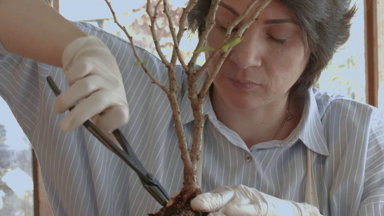 How To Make Bonsai Tree Fuji Cherry Or Prunus Incisa Kojo No Mai Trees From Nursery Stock