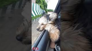 Super Funny dog video #1/  Meetherothe Australian silky terrier