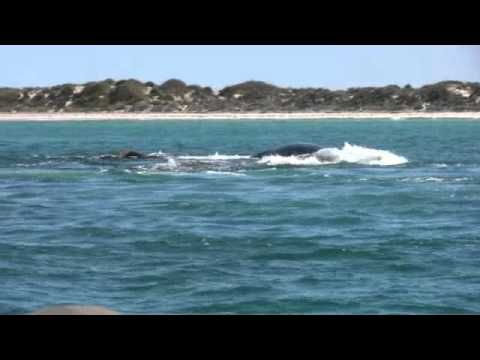 Southern Right whale swim and whale sounds 27th aug 11