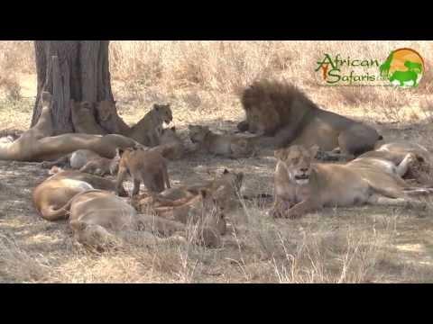 Large pride of Lions - Serengeti National Park