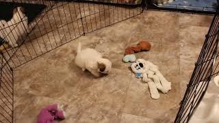 Coton Puppies For Sale - Kiwi 10/18 & 19/21