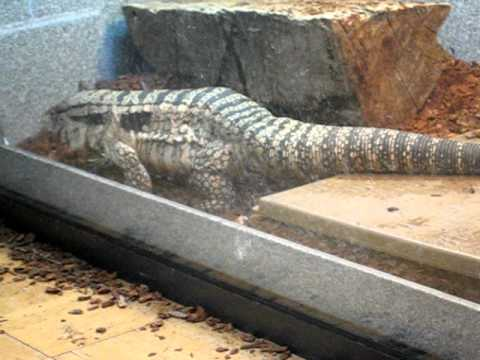 tegu lizard escapes from cage youtube
