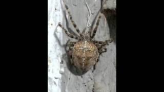 паук крестовик.