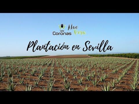 Comer Aloe Vera Las Coronas, propiedades, receta en tacos y zumo. Comando Actualidad TVE (sábila)