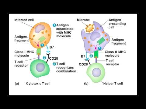 T Cell Activation - T helper & Cytotoxic T Cell Activation (best explanation)