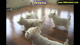 West Highland Terrier, Puppies, For, Sale, In, West Jordan, Utah, County, Ut, Utah, Davis, Cache, Bo