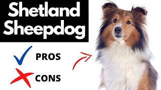 Shetland Sheepdog Pros And Cons | The Good AND The Bad!!
