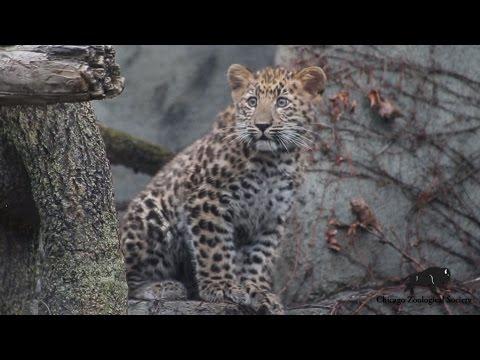 Amur Leopard Cub Makes Debut!