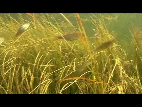 How To Film Underwater In HD In Slow Motion How Small Pike Attacks Prey In Grand Canal, Ireland.