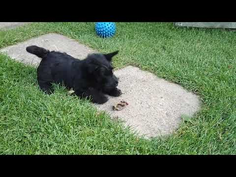 Scottish terrier pup and dried treat
