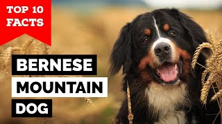 Bernese Mountain Dog  Top 10 Facts